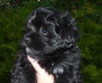 Gumtree Maltese Mini Black Male Pup Maltipoo Puppy Maltese