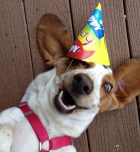 Top 10 Party Time Dogs Celebrating Birthdays Dog Birthday Cute Beagles Dog Pictures