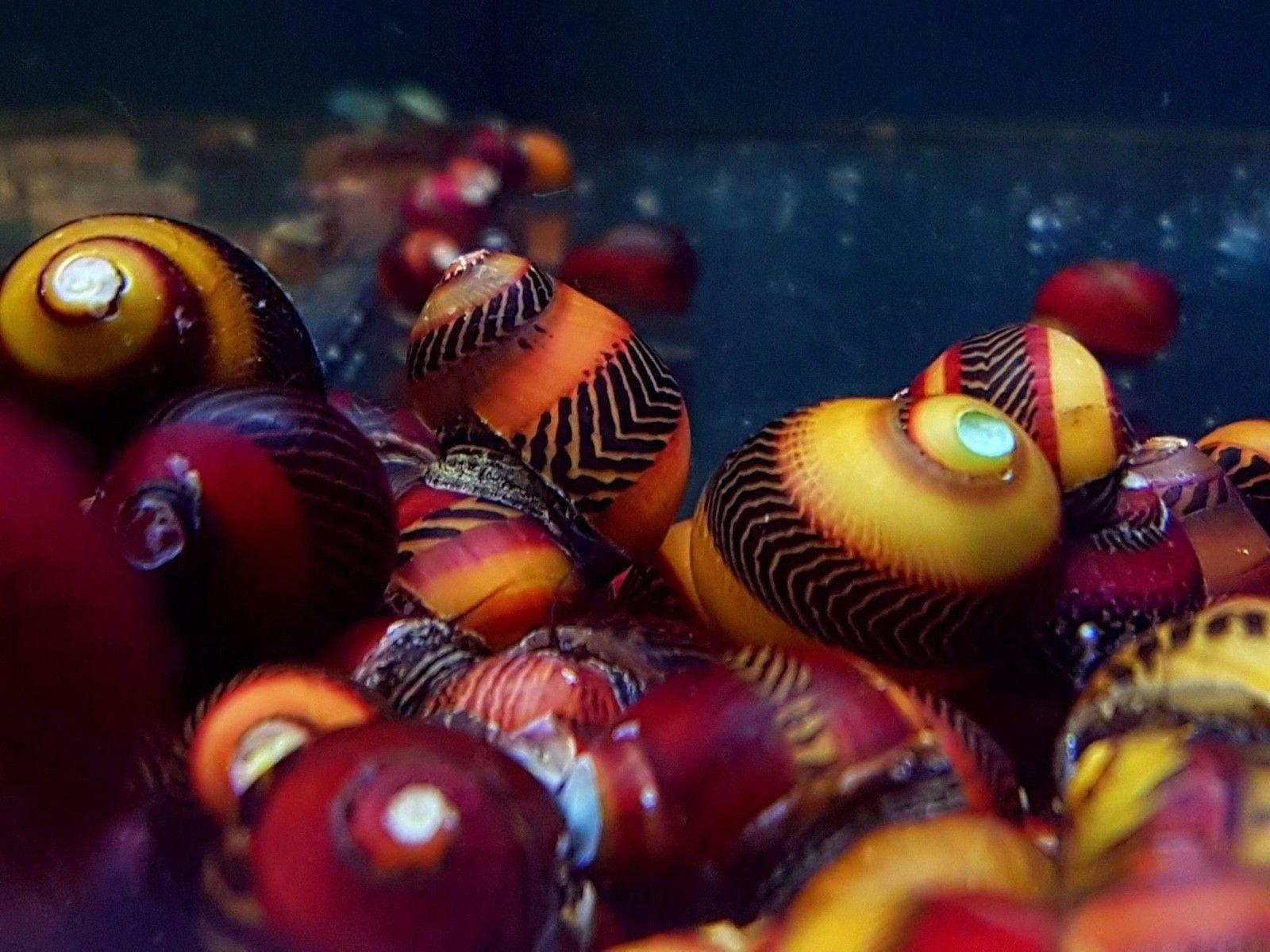 Pin On Invertebrates For The Freshwater Aquarium