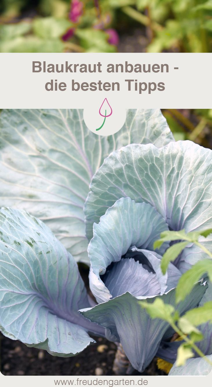 Rotkohl anbauen: pflanzen, pflegen, Erntezeit #gemüsegartenanlegen