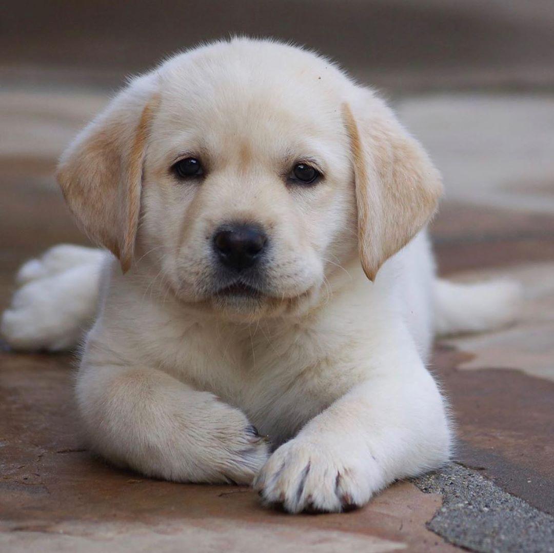 Training Your Labrador Retriever Choosing The Right Collar Labrador Puppy Golden Labrad In 2020 Labrador Retriever Puppies Cute Lab Puppies Puppies