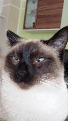 Dreaming Cat Lady Starter Kit Oriental Cat Siamese Cats