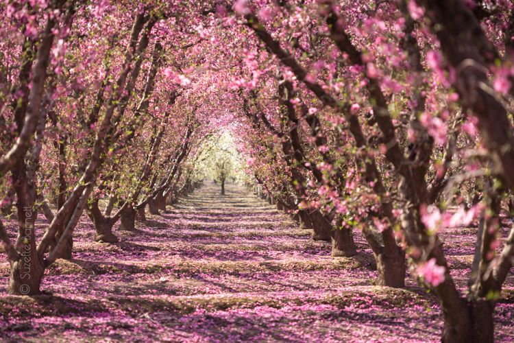 Spring On California S Blossom Trail Try Something Fun California Travel Road Trips California California Travel