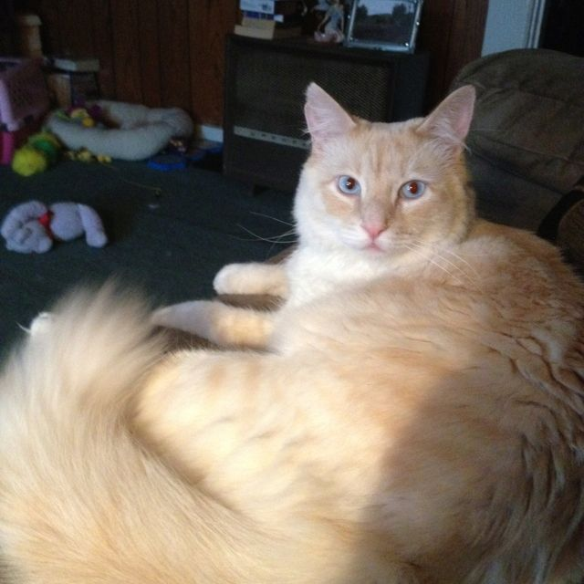 My Flame Point Balinese He S A Handsome Boy Balinese Cat Cats