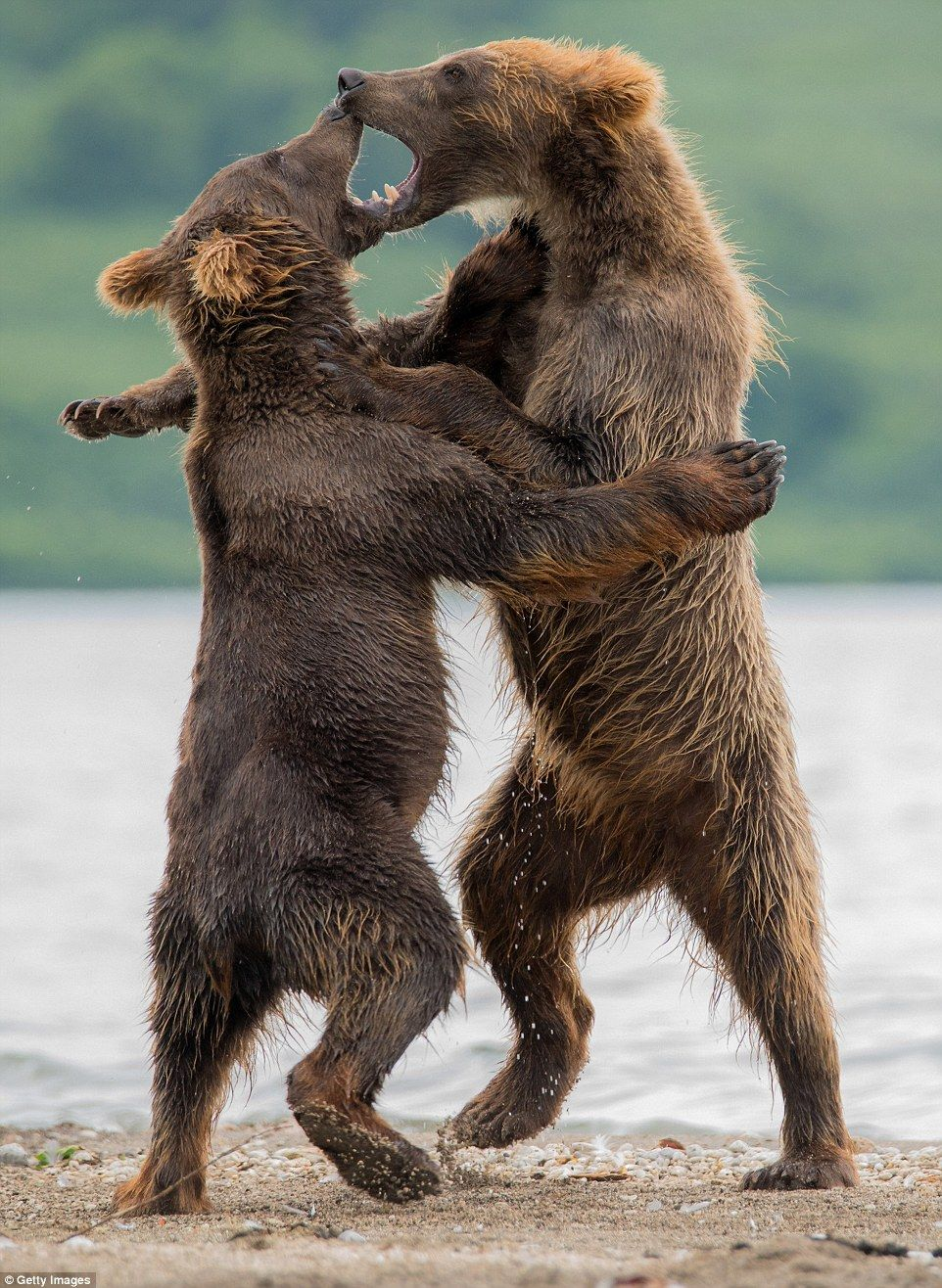 Brown bear cubs play and watch parents catch salmon in