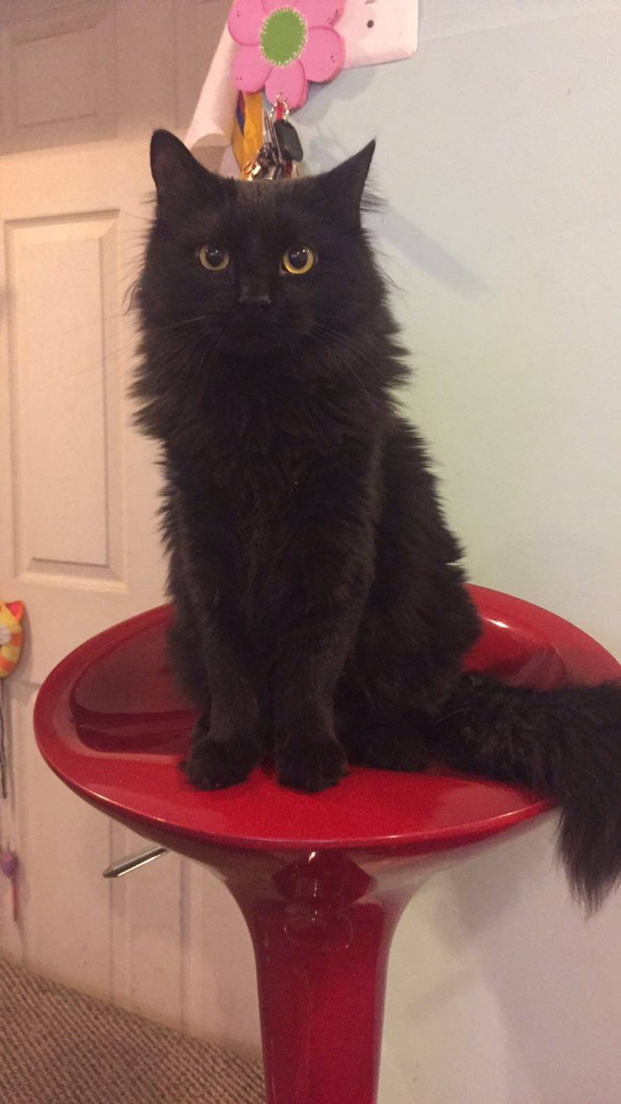 Joker Black Cat Lovers Fluffy Black Cat Cute Cat Gif Cats