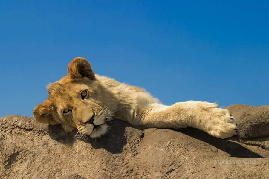 Lion Cub Photo by Mario Moreno - Pixdaus