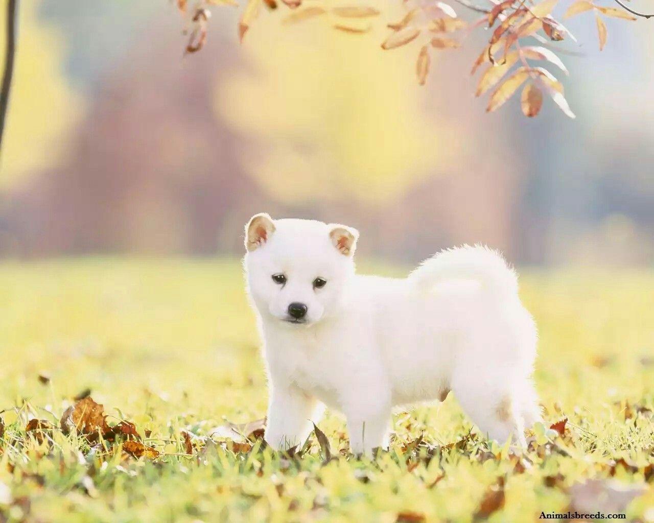 White Shiba Floof Shiba Inu Puppy Shiba Inu White Shiba Inu Puppy