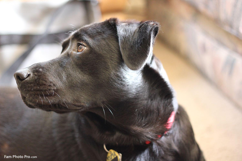 kuma is a beautiful black labrador mix