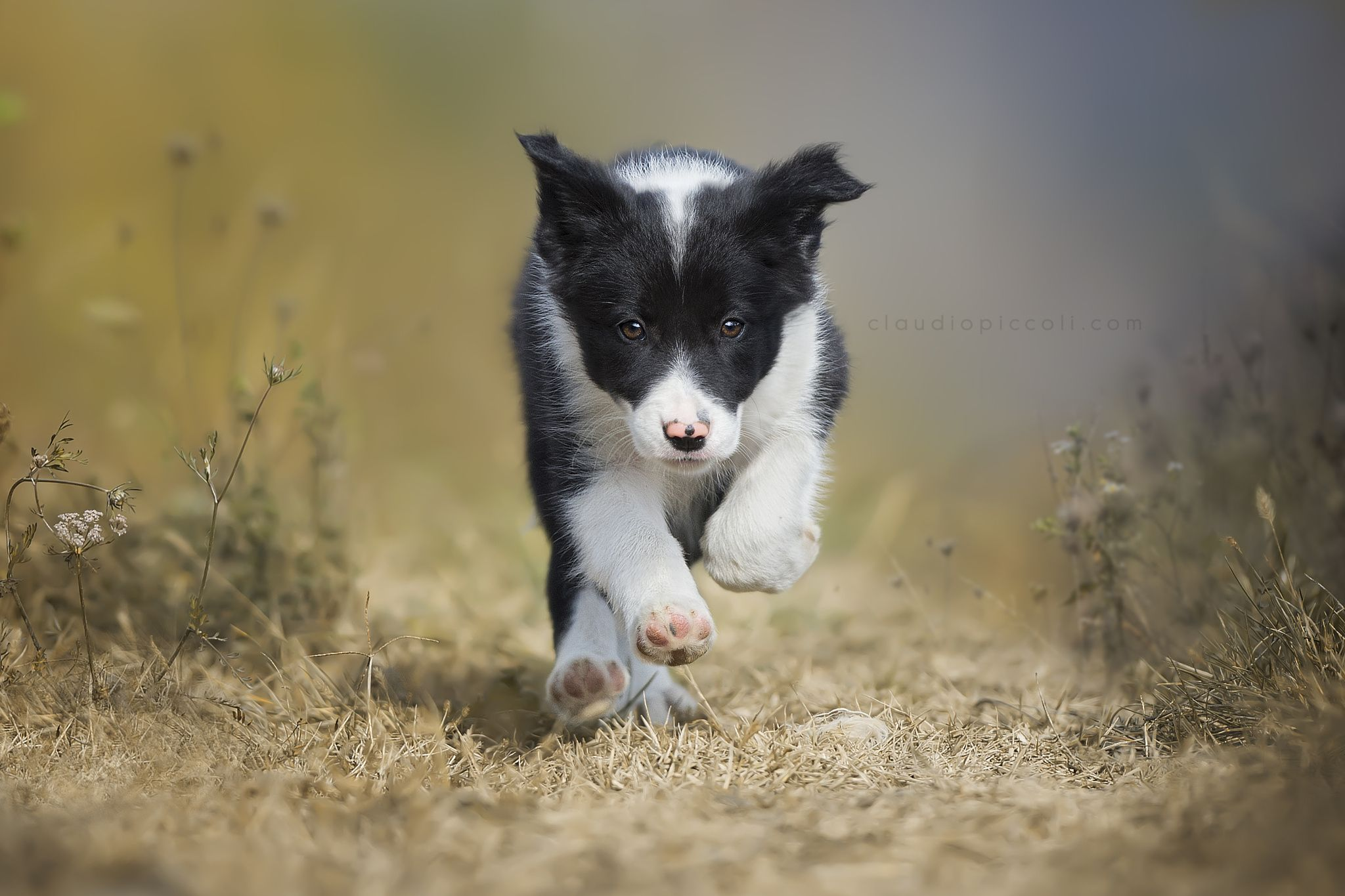 I'm a Puppy :) - a nice Puppy of Border Collie is doing her first fast run :)