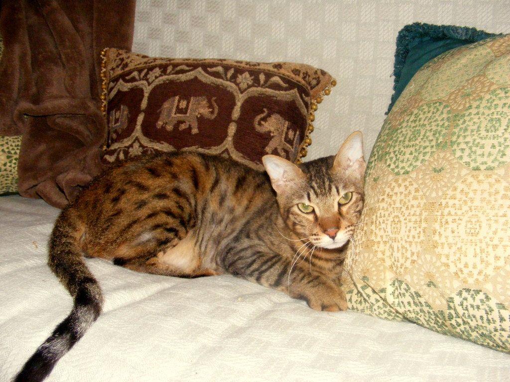 rare cat breeds rare cat breeds wellplaced fluff