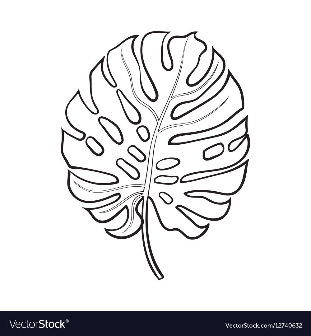 Full leaf monstera palm tree sketch vector image on VectorStock