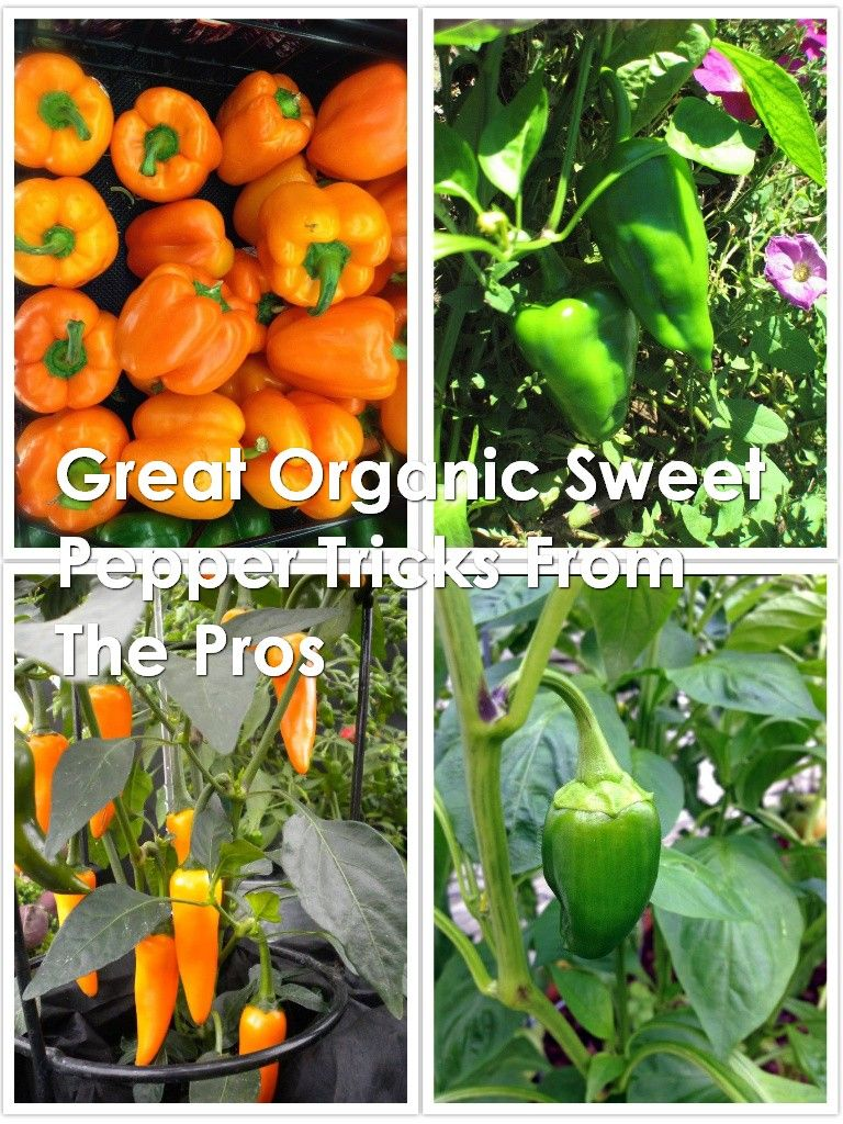 How to grow organic sweet pepper in 2020 stuffed peppers