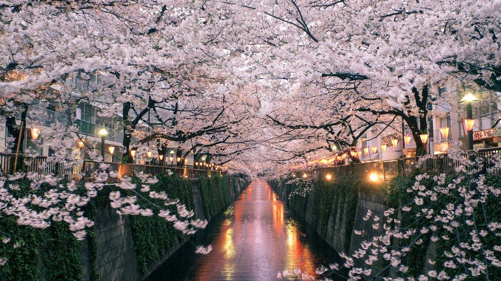 How To See Japan S Cherry Blossoms This Year Japan Cherry Blossom Festival Cherry Blossom Japan Cherry Blossom Season