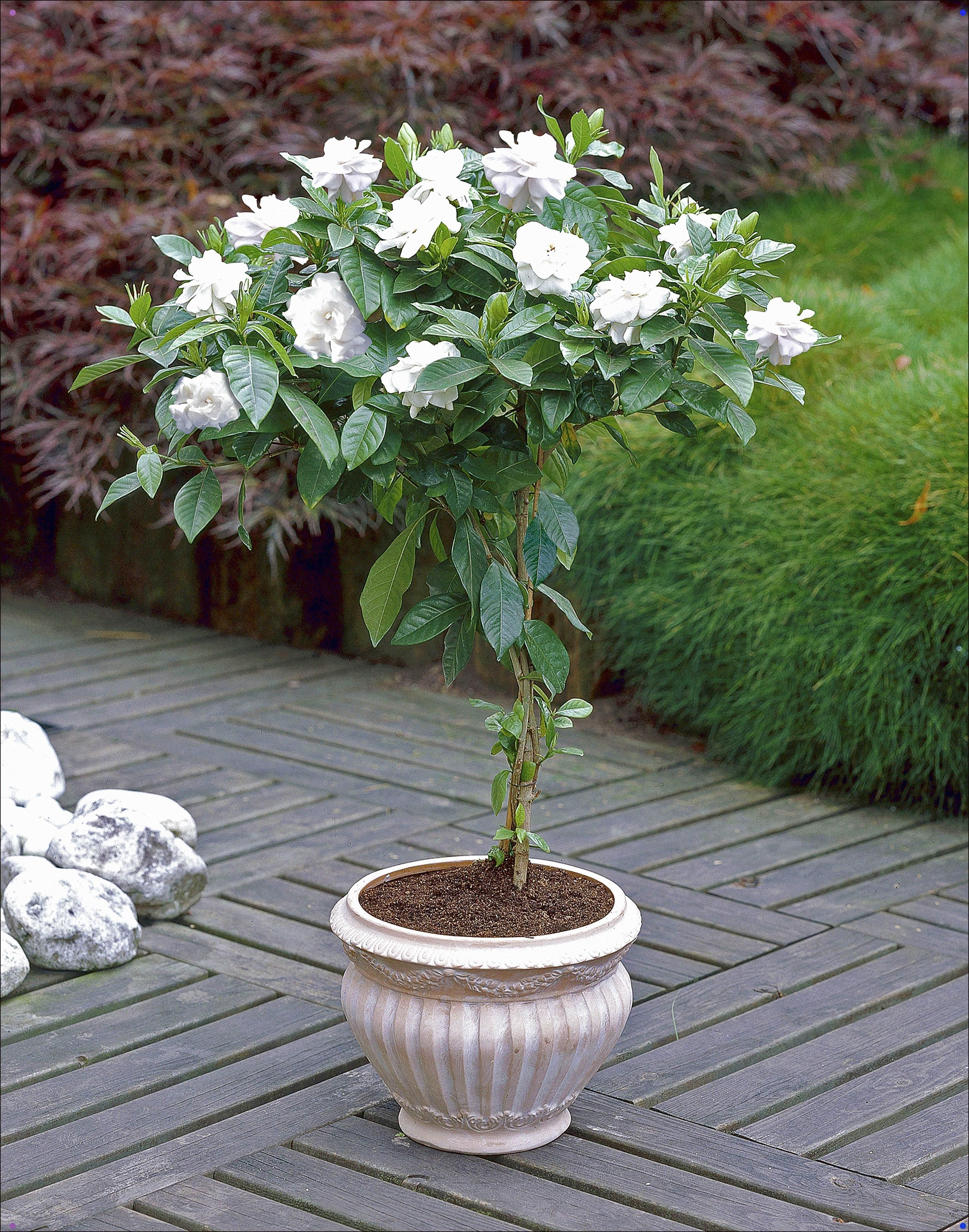These Gardenia Trees Are A Great Addition To Any Patio They Fill