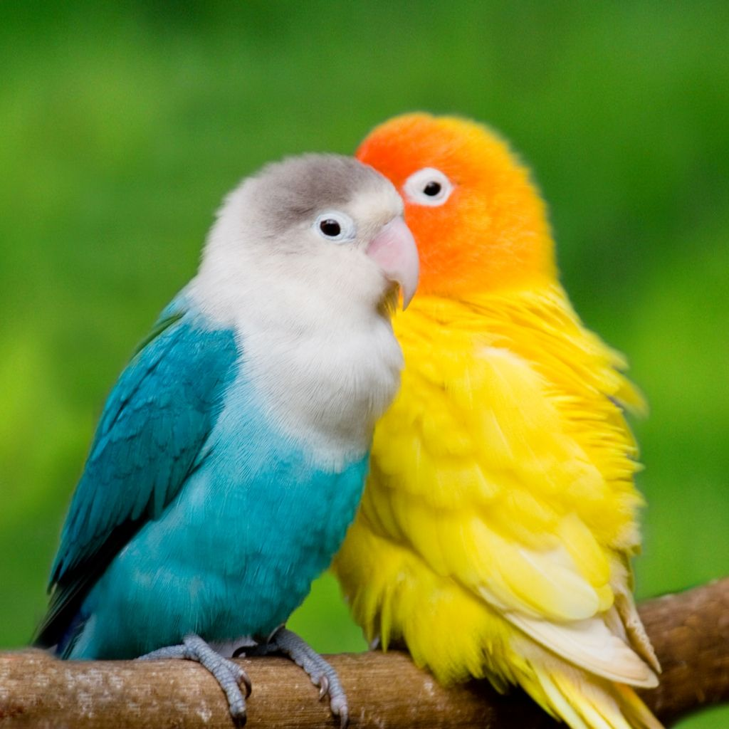 Wallpaper Gallery Love Bird Wallpaper 1 Animals Beautiful Pet Birds Animals