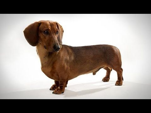 Dogs 101 Season 1 Episode 20 Dachshund كلب الدشهند كلب