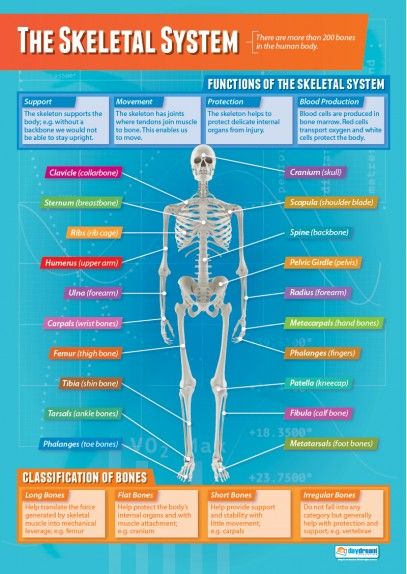 The Skeletal System | Physical Education School Posters | Nursing ...