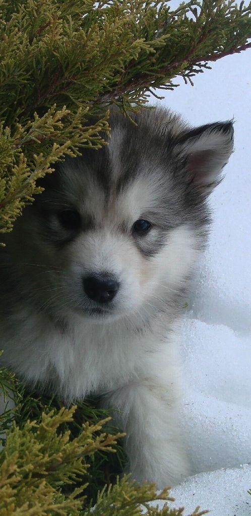 Alaskan Malamute Dog Art Portraits Photographs Information And Just Plain Fun Also See How Artist Kline Draws His D Animals Beautiful Cute Animals Puppies