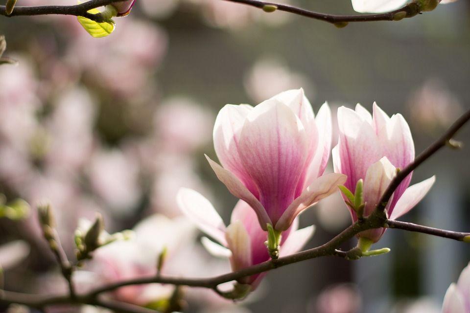 Magnoliya Zasazhdane Otglezhdane Lyubopitno Hubava Zhena Magnolia Flower Blooming Flowers Flowers
