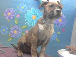 Animal ID: A4703387 My name is Snipper and I'm an approximately 3 month old male #pitbull.  I am not yet neutered.  I have been at the Lancaster Animal Care Center since May 1, 2014.  I am available on May 1, 2014.  You can visit me at my temporary home at L310. #adoptable #puppy