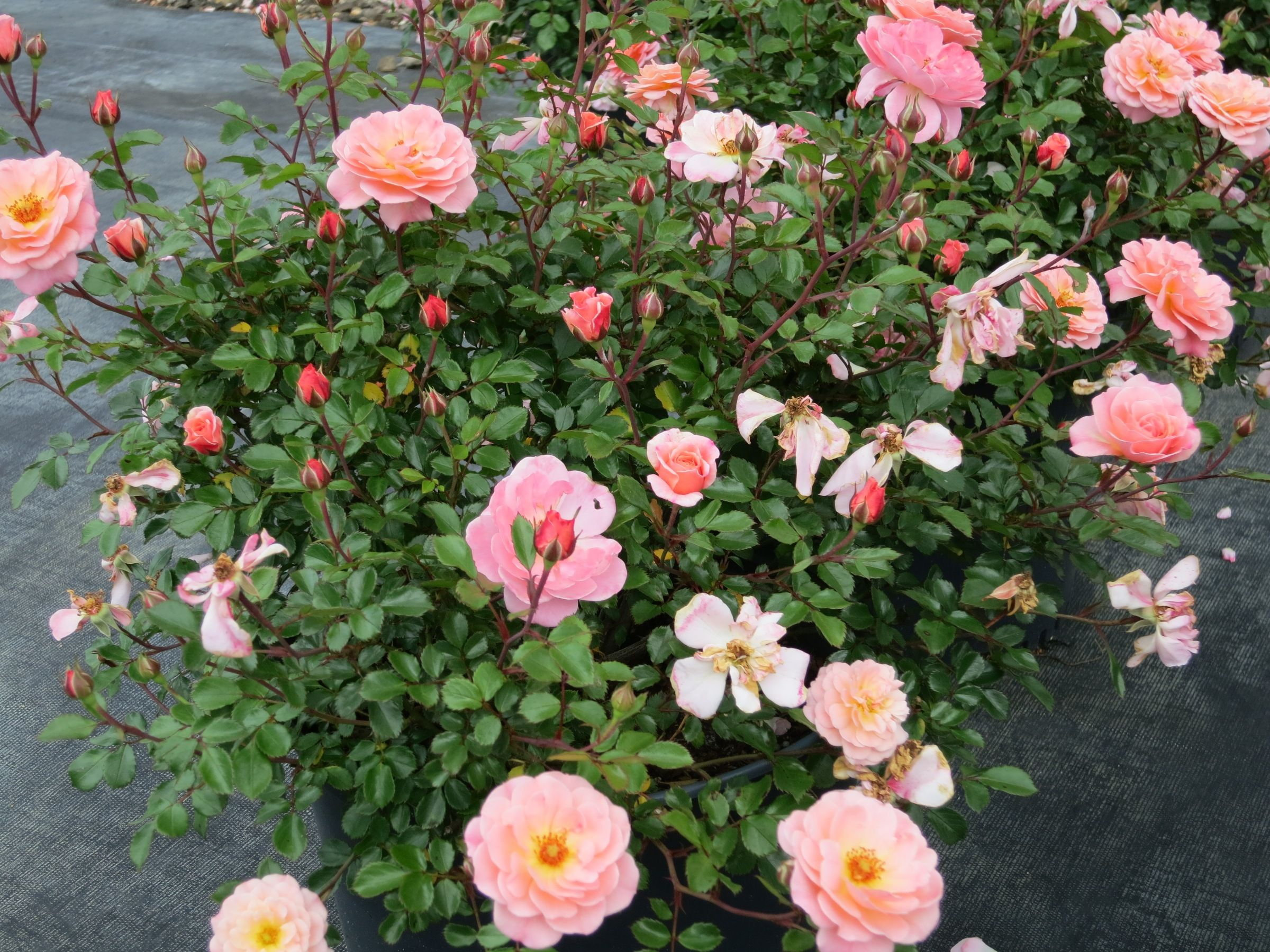 Picture of Live Groundcover Rose aka Rosa 'Drift - Apricot' Plant Fit 2 Gallon Pot