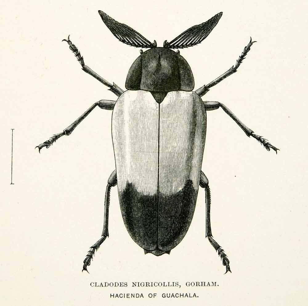 Cladodes Nigricollis | Gorham Whymper Entomology | Andes Beetle ...