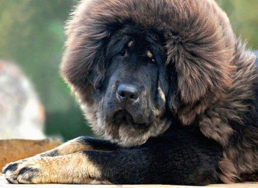 Part Lion Part Dog Tibetan Mastiff Puppy Tibetan Mastiff Red