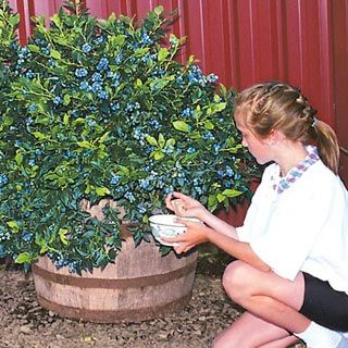 Delightful Dwarf Northsky Blueberry: Survives  45 Temps, Container Plant, Yeilds 1 2
