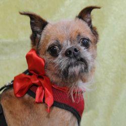 Rasputin Is An Adoptable Brussels Griffon Dog In Saint Louis Park