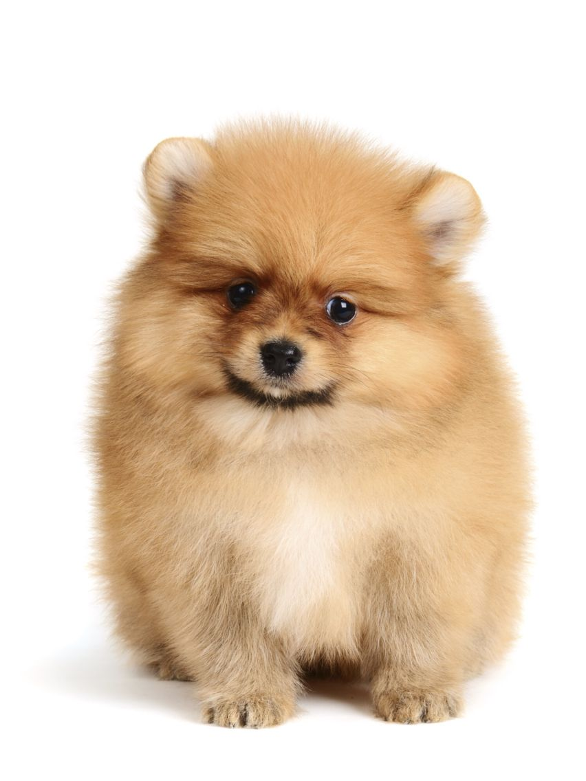 Way Too Adorable Hamster Hair Cut On A Pom I Have To Get My