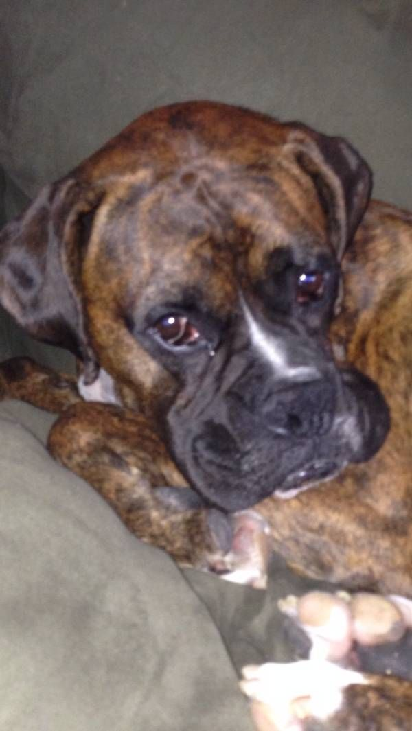 Lost Dog Boxer in LANCASTER, CA Pet Name Rocky (ID