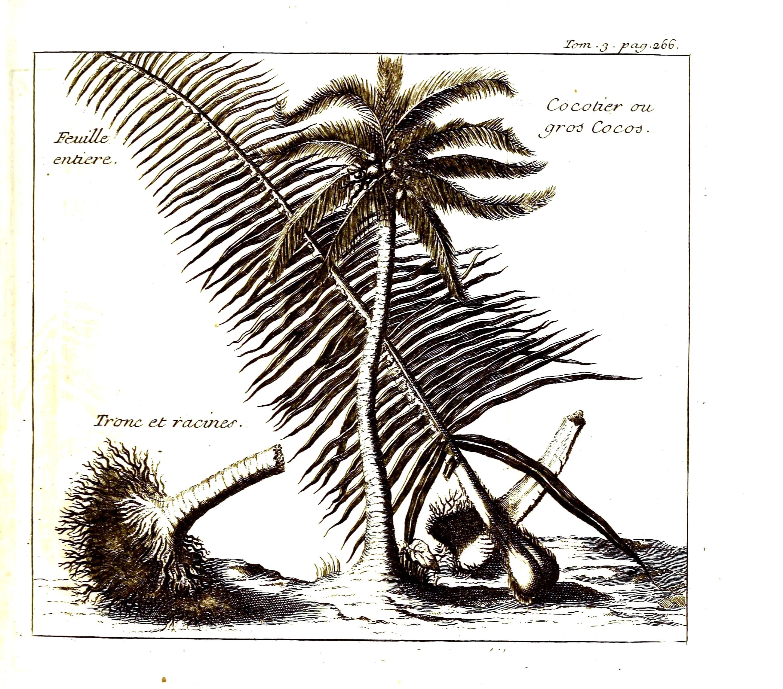 botanical tree coconut palm vintage art prints botanical tree coconut palm