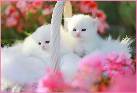 White Fluffy Kitens In A Basket Cats Wallpaper Id 1129463