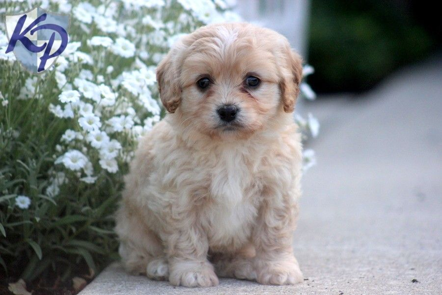 Puppy Finder Find Buy A Dog Today By Using Our Petfinder Cavachon Puppies Puppies Cavachon