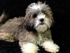 Adopt Chiquita Turner On Shih Tzu Dog Poodle Mix Dogs Shih Tzu