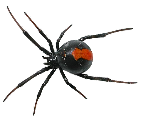Spider Png By Camelfobia On Deviantart Spider Venomous Animals Png