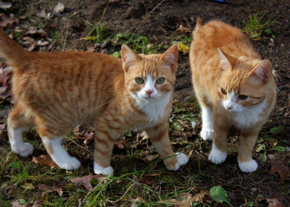 Orange kitties Animals, Cats, Kitty