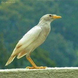 Javan Myna Leucistic Adult 1a 266x266 Jpg 266 266 Ptaci