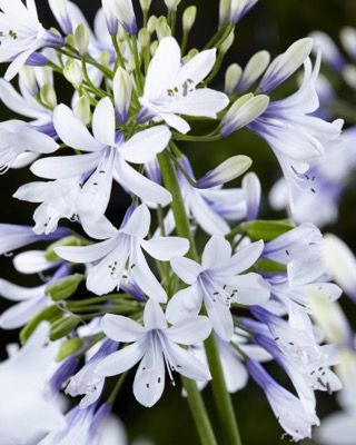 Agapanthus Hybrid Twister Ambic001 Agapanthus Plants Parts Of A Flower