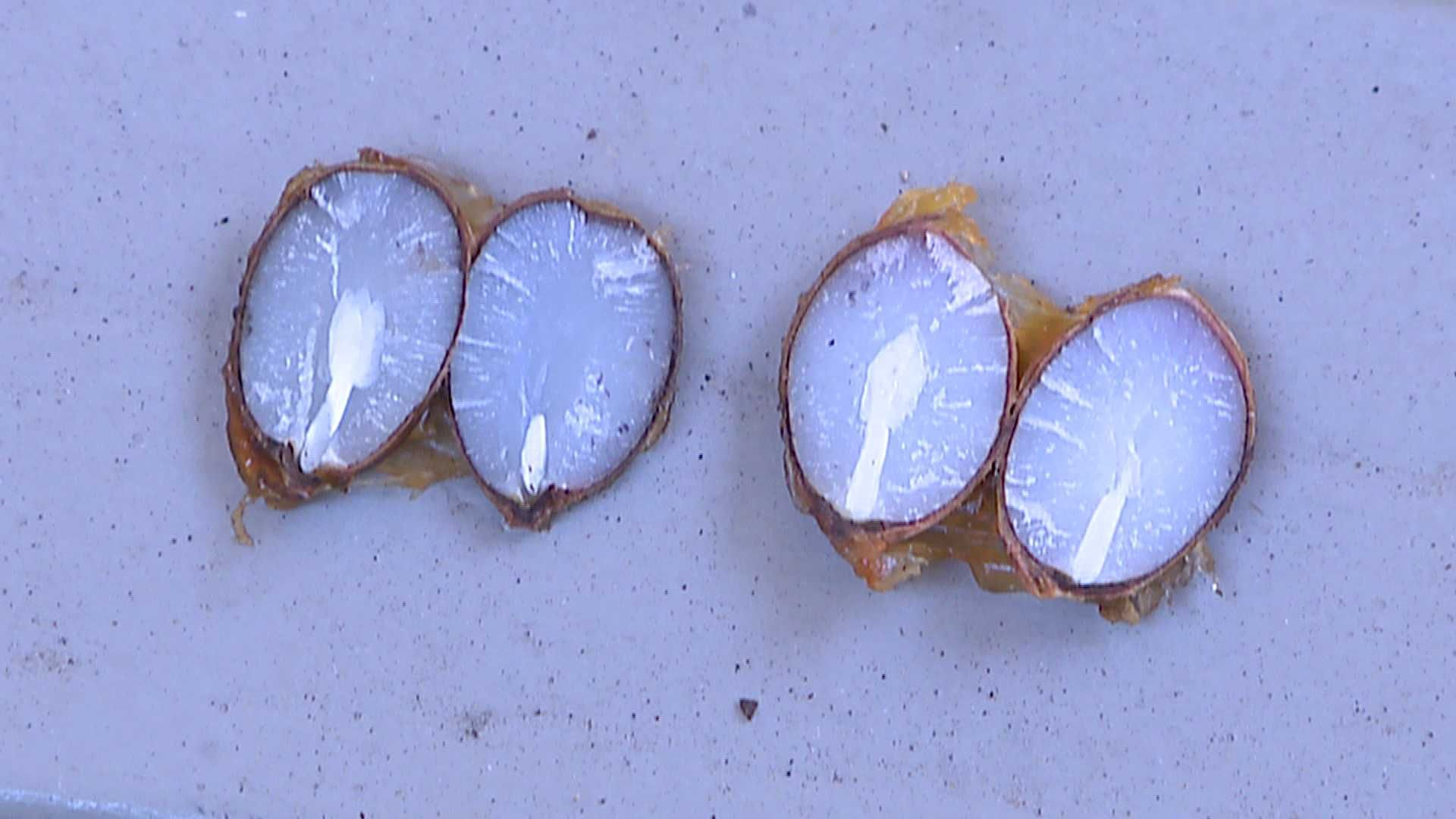 How accurate are persimmon seeds in predicting winter