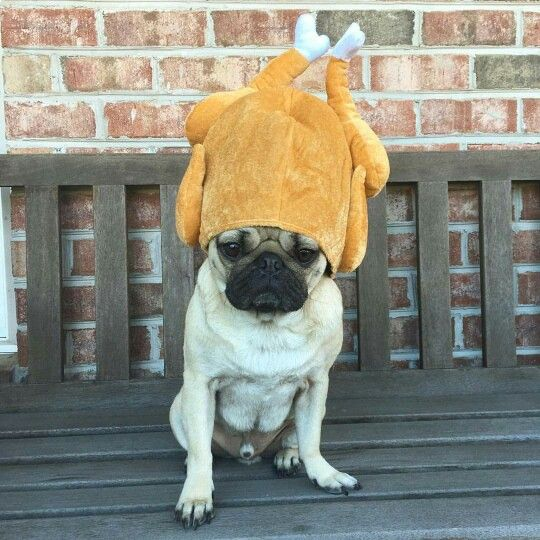 Doug Was Left Alone With The Turkey Doug The Pug Baby Pugs Pugs