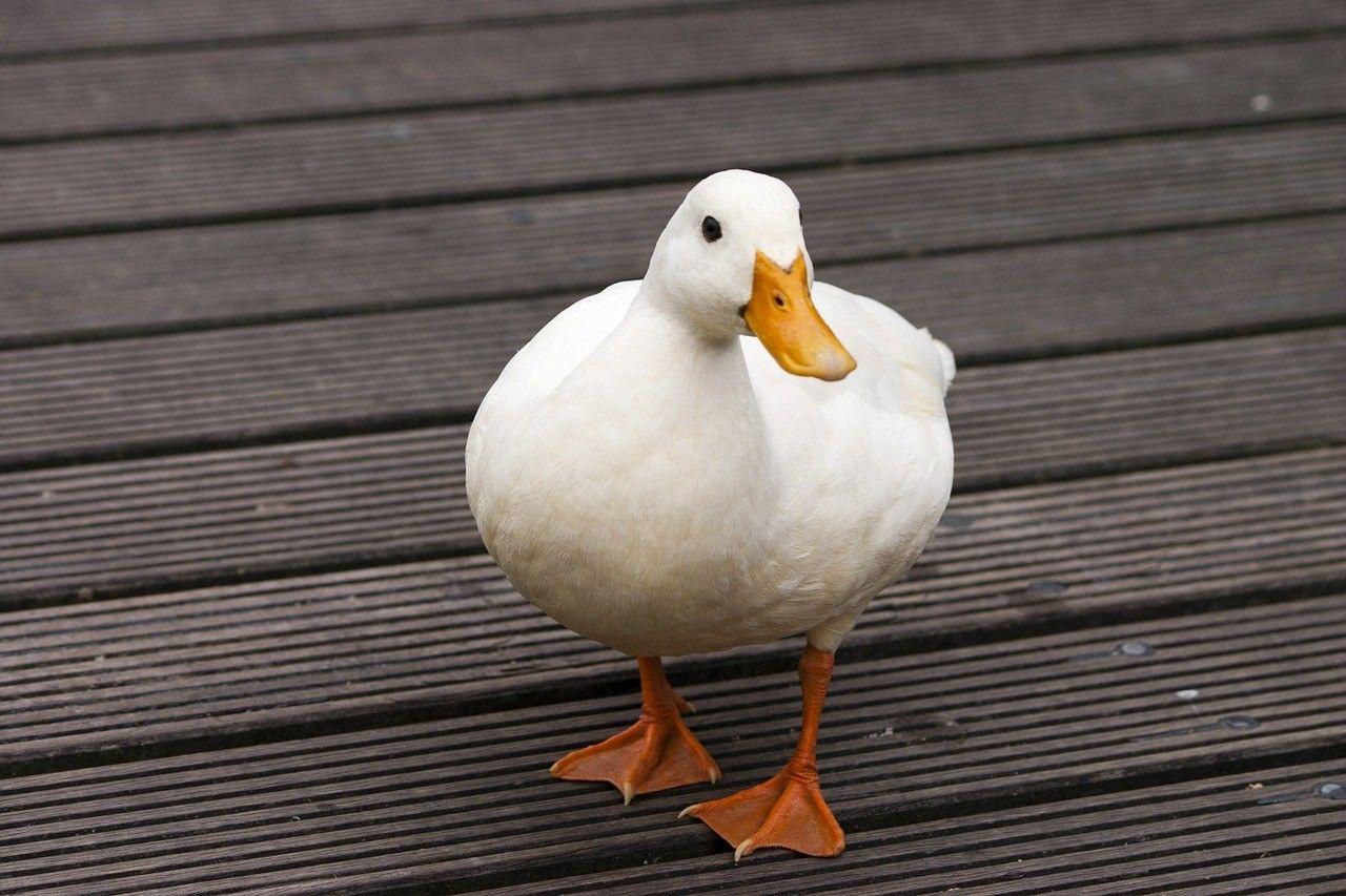 Haben Enten Füße