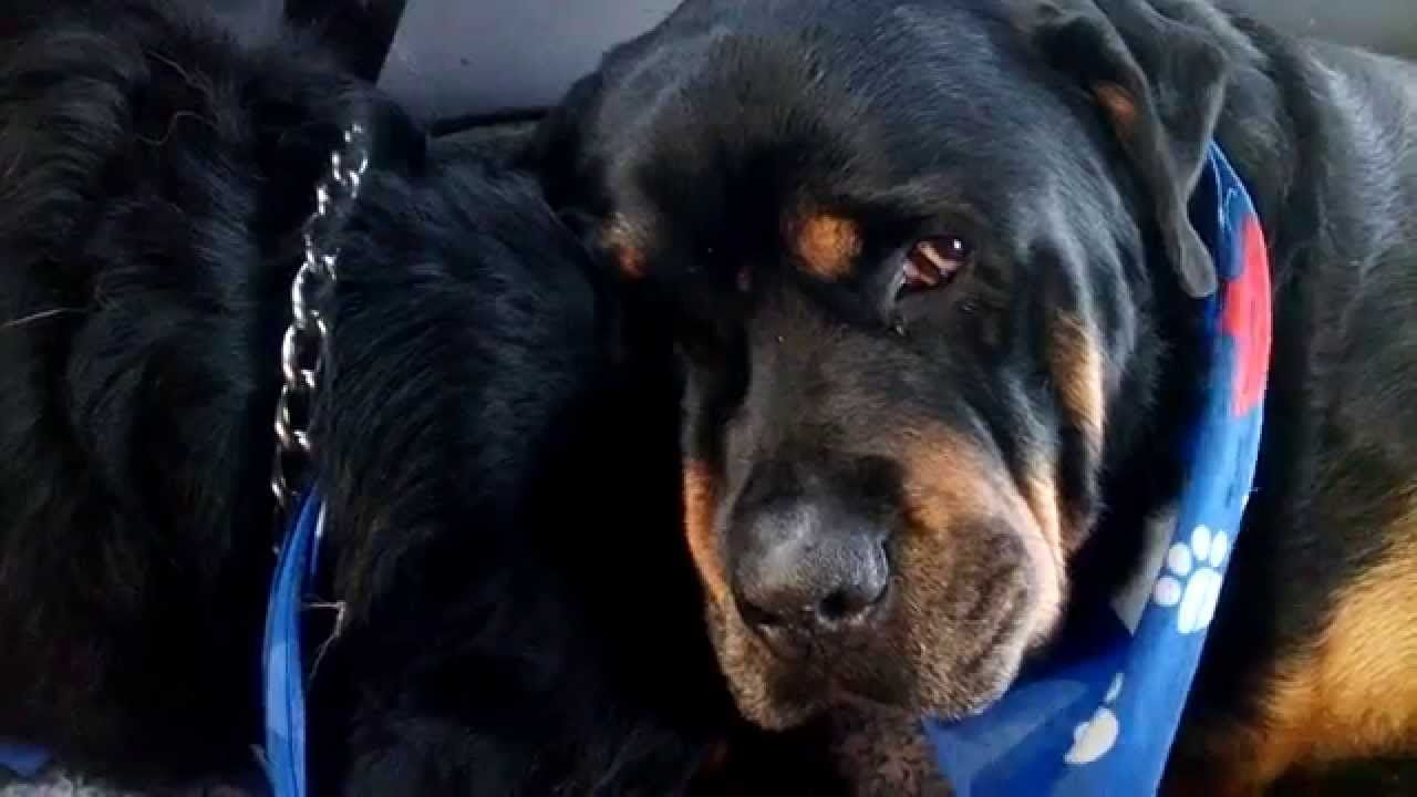 Youtube Rottweiler Dog Grief Dogs