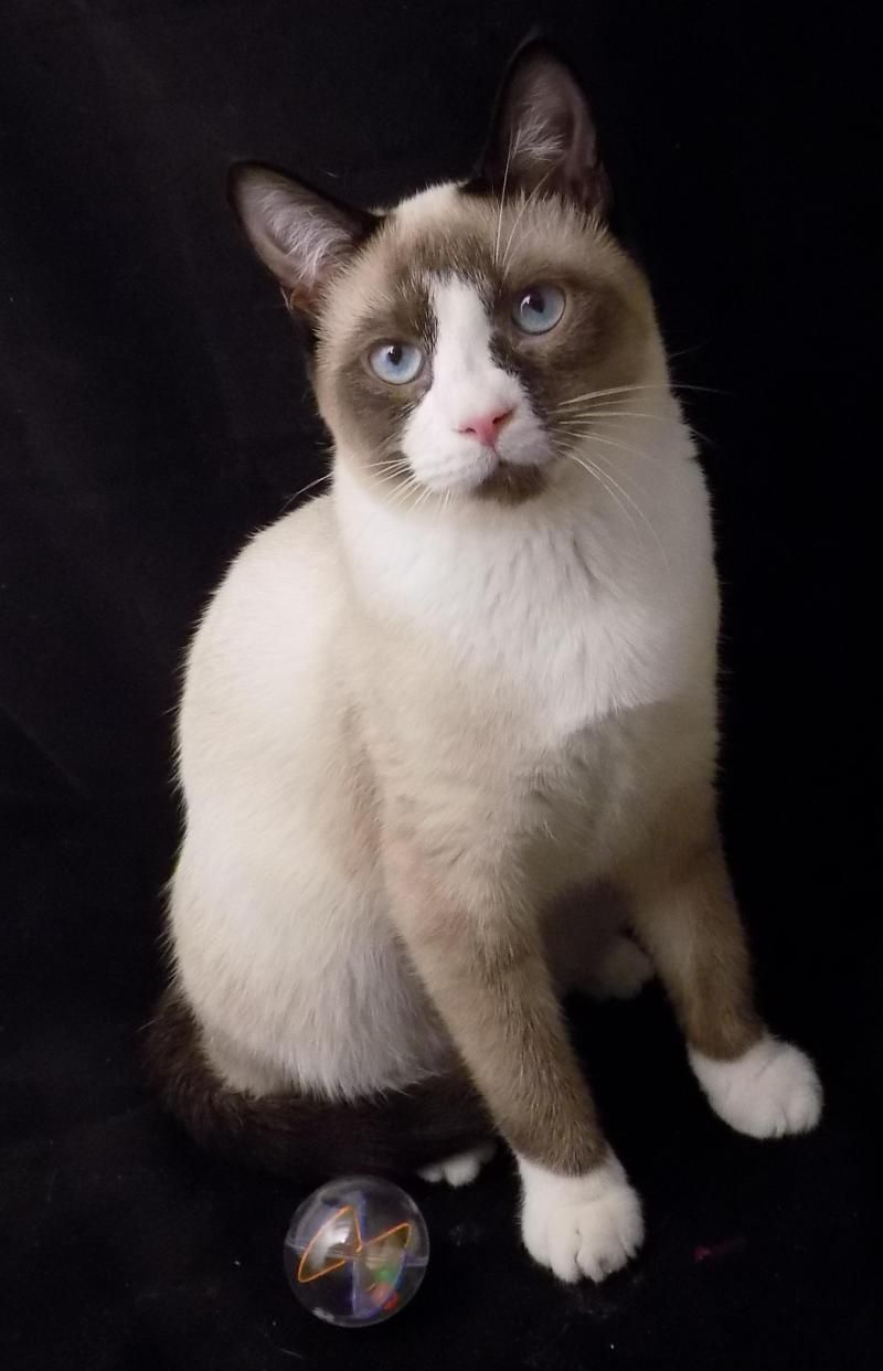 Adopt Ozzie & Creamy on (With images) Snowshoe cat, Cute
