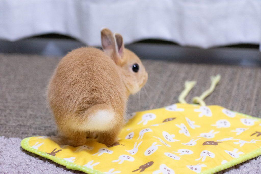飼い主が嫉妬するほど うさぎを魅了するタオル うさぎのあめ うさぎ ウサギ ドギーマン