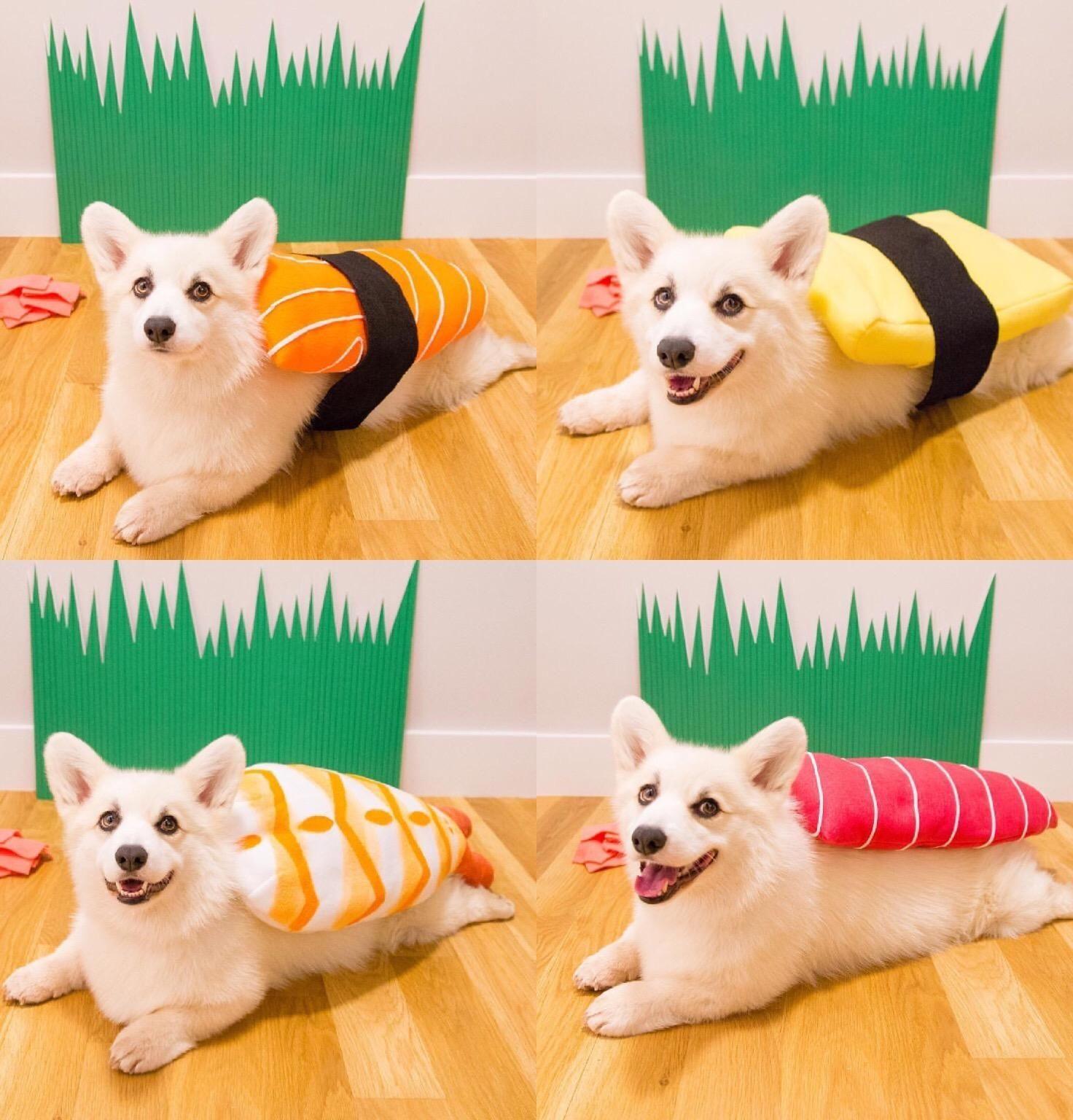 when life gives you a white corgi you make sushi http ift tt
