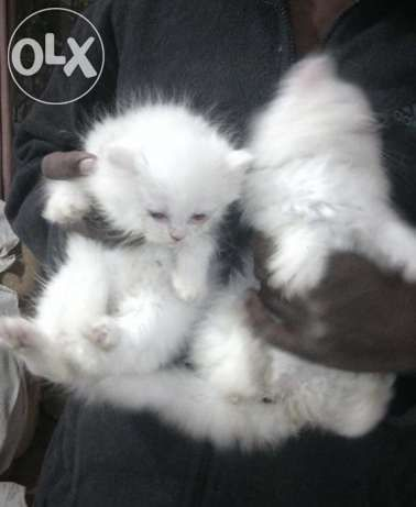 Punch Face Persian Cat : punch, persian, Punch, Persian, Kittens, Kittens,