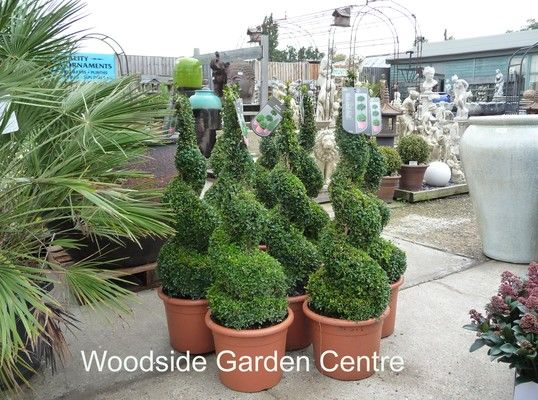 Large Buxus Spiral Topiary Plant Woodside Garden Centre