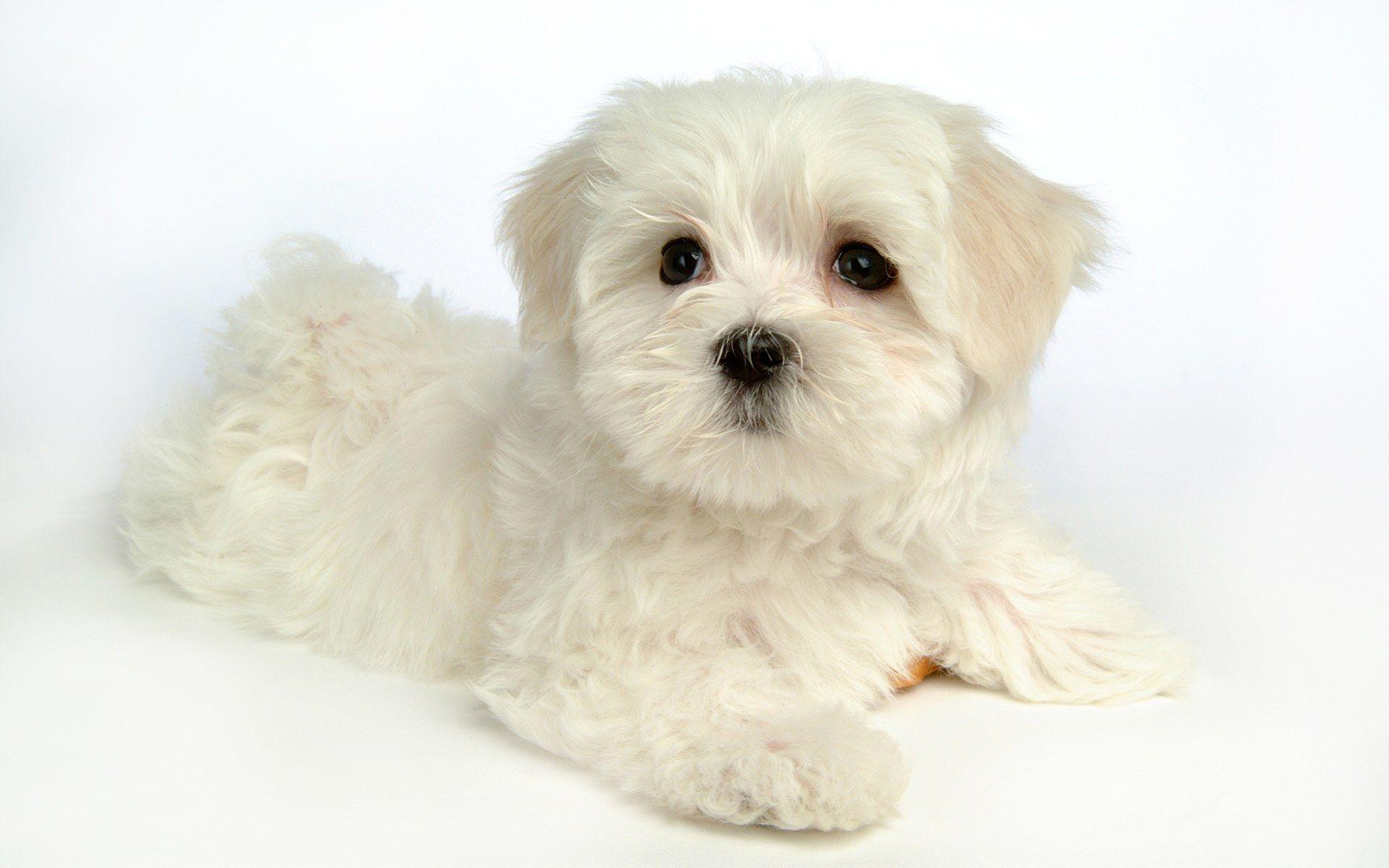 Maltese Dog Fluffy Maltese Puppy Dogs White Maltese Puppies